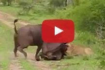ライオンが吹っ飛ぶ衝撃動画.jpg