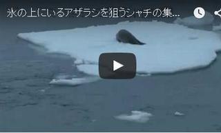 氷上のアザラシを襲うシャチの集団.jpg